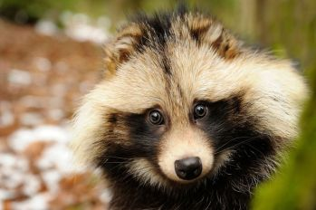 Tanukis, aka Raccoon Dogs (not related to raccoons) are devoted family members, and love to play tricks on humans.
