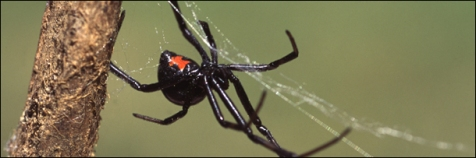 99 percent of black widow vicims survive and recover completely.