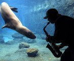 Casey the Leopard Seal often sings along when zookeeper Steve Westnedge wails on the sax at the Austrailian Marine Mammal Research Center