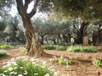 Garden of Gethsemane - where Jesus walked and prayed