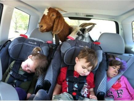 Nanny. Goat.