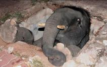 Oops! Baby elephants are notoriously clumsy, and take as long as humans to mature. Good thing they also first-class survivors.