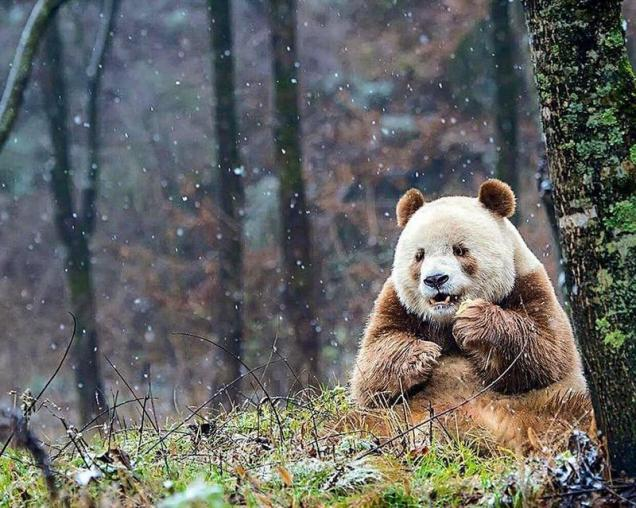 Qizai, the only known Brown Panda, survived brutal attacks from other pandas, and finally found a home with some caring humans.
