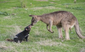 A Tasmanian Devil and Forester Kangaroo say hello in Tasmania
