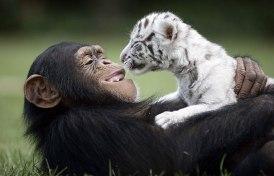 Anjana chimp loves to help caretaker China York raise orphaned animals