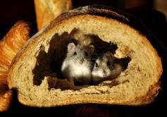 In-bread mice - a little later
