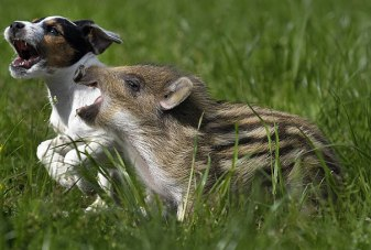 Manni the wild boar and Candy the dog play together every day (spiegel.de)