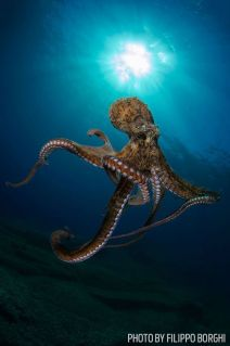 Octopuses enjoy showing-off for divers (Scuba Diving Magazine)