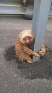 This little sloth was terrified after a failed atempt at crossing a highway