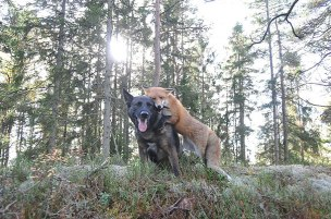 Tinni the dog and Sniffer the wild fox plays together every day in the forests of Norway (Torgeir Berge)