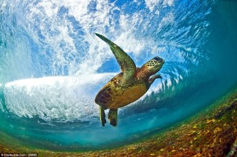 Green Sea Turtle beneath a breaking wave in Oahu, Hawaii (photo by Clark Little)