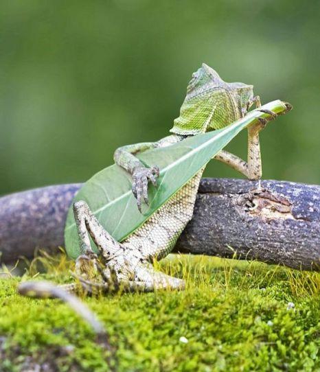 Lizard 'playing guitar' - not Photoshopped (photo by Aditya Permana)