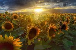 Sunflower Sunrise (photo by Kinga Curelea)