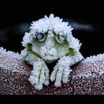 Alaskan Tree Frog - freezes solid in winter, and comes back to life in spring