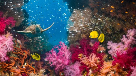 Coral reef scenery with a green sea turtle (Chelonia mydas) swimming over soft corals. Egypt, Red Sea.