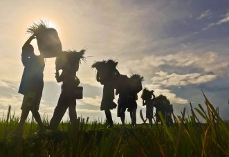 BOUNTIFUL HARVEST:AS THE SUN RISES,PRISONERS AT THE IWAHIG PENAL COLONY IN PUERTO PRINCESA ,PHILIPPINES START TO HARVEST PALAY AT THE PRISON'S FARM THE INMATES TENDING THEMSELVES....ERNIE PENAREDONDO/PHOTO