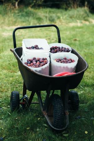 Buckets of plums, Mabout, Cape Breton by Kelly Neil (unsplash.com)