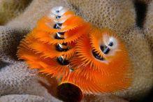 Christmastree Worm (photo by Paula Marie deBaleau)
