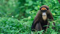 De Brazza's monkey sitting in a forest. The monkey is a captive from tropical Africa.