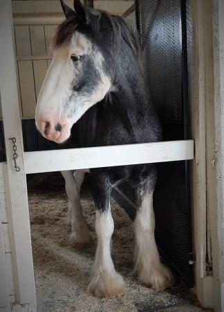 Kentucky Horse Park - Clydesdale