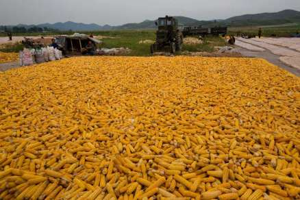 Koren corn harvest (AP photo by David Guttenfelder)