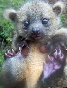 Olinguito - newly-discovered purple-footed mammal species found in Columbia
