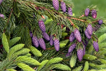 Purple pinecones - naturally occurring (Donald Reese Photography)