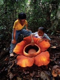 Rafflesia Arnoldii, world's largest flower (Flickr.com)