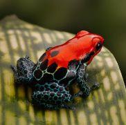 Red Poison Dart Frog (photo by Dirk Ercken)