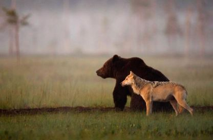 A Rare Friendship - Gray Wolf and Brown Bear (reddit.com)