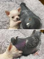Best Friends - Herman the Flightless Pigeon and Lundy the Chihuahua Who Can't Walk (Mia Foundation)