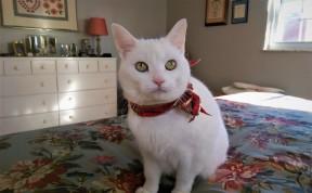 Christmas looks good on our cat Misha