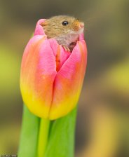 Harvest Mouse - photo by Alex Meek, Yorkshire, England (dailymail.co.uk)