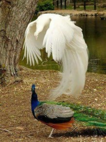 Avian Ghost (actually a rare albino peacock) - photo credit, olin_2 (boredpanda.com)