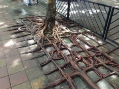 'Checkerboard tree roots' occur in many cities