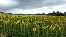 Non-Conformist Sunflower - there's one in every crowd - photo credit, EnjoyOslo (boredpanda.com)