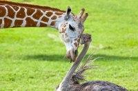 Bea the giraffe and WIlma the ostrich (boredpanda.com)