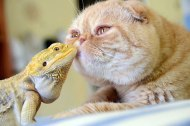 Bearded dragon and his BFF (Big Furry Friend) (earthporm.com)