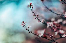 'Cherry Blossom' by Nitish Meena (unsplash.com)