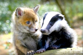 Fox and badger - pups is pups (zoomzee.org)