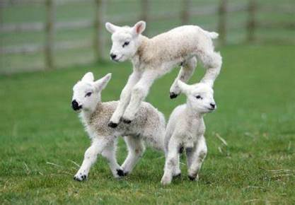 Lambs at Standalone Farm in Letchworth (familiesonline.co.uk)