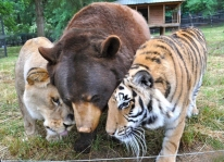 Lion, bear and tiger, raised together, and now inseperable (earthporm.com)