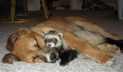 'No one can ferret why they're buddies, but they are' (acidcow.com)
