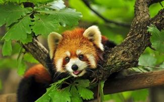 Red Panda (reddit.com)