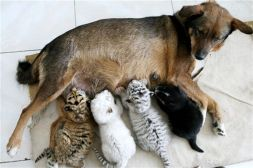 In this photo released by China's Xinhua News Agency, a dog feeds tiger triplets and her own puppy, right, at the Paomaling Zoo in Jinan, capital of east China's Shandong Province, Wednesday, May 16, 2007. The tiger triplets were rejected by their mother shortly after their birth. (AP Photo/Xinhua, Lu Chuanquan)