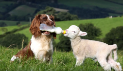 Spaniel mom and her lamb (zoomzee.org)