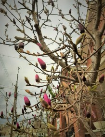 Spring Buds, Bellevue, Kentucky - photo by Mitch Teemley