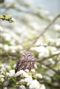 Spring Owl - Andy Chilton (unsplash.com)