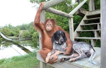 Suryia the orangutan and his bro Roscoe the tic hound (earthporm.com)