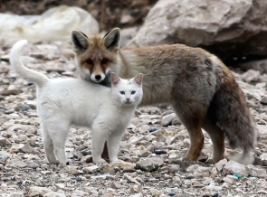 This cat and wild fox hang out together every day (earthporm.com)